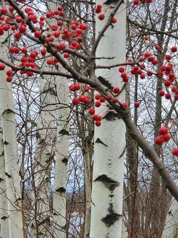 Berries and Birch Trees at Jamestown Riverwalk